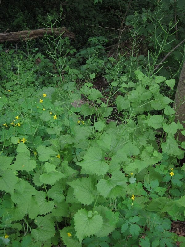 Pull garlic mustard before it goes to seed, and save a lot more work later