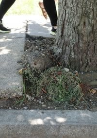 35 street trees on Adams Street to be removed for sidewalk improvements