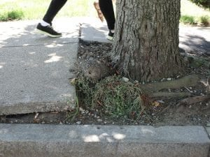 Worst sidewalk lifting by tree roots on Adams Street. (Photo by Julia Malakie)