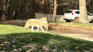 That's one big coyote