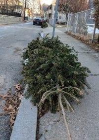 Oh, Christmas Trees?