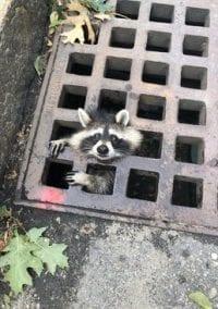 Raccoon rescued!